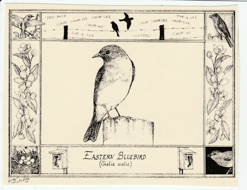 Eastern Bluebird This 6 Pack Of Blank Ivory Cards W Matching Envelopes Features A Pen And Ink Drawing By Lc Devona Of An Eastern Bluebird