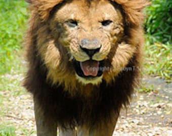 Old Lion - 4x6 Fine Art Photograph
