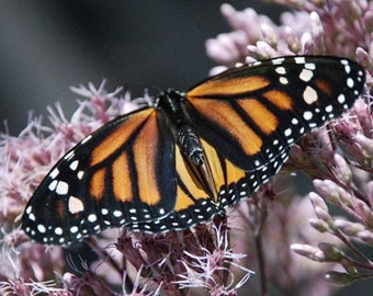Monarch Butterfly - 4x6 Fine Art Photograph
