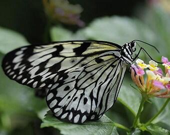 Paper Kite Butterfly - 4x6 Fine Art Photograph