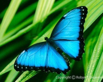 Blue Morpho Butterfly II - Matted, Mounted and Signed 8x10 Fine Art Photograph