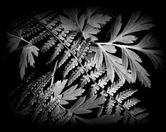Nature Photography, Ferns, Black and White, Woodlands, Spring Time, Home Decor, 8 x 10 print,