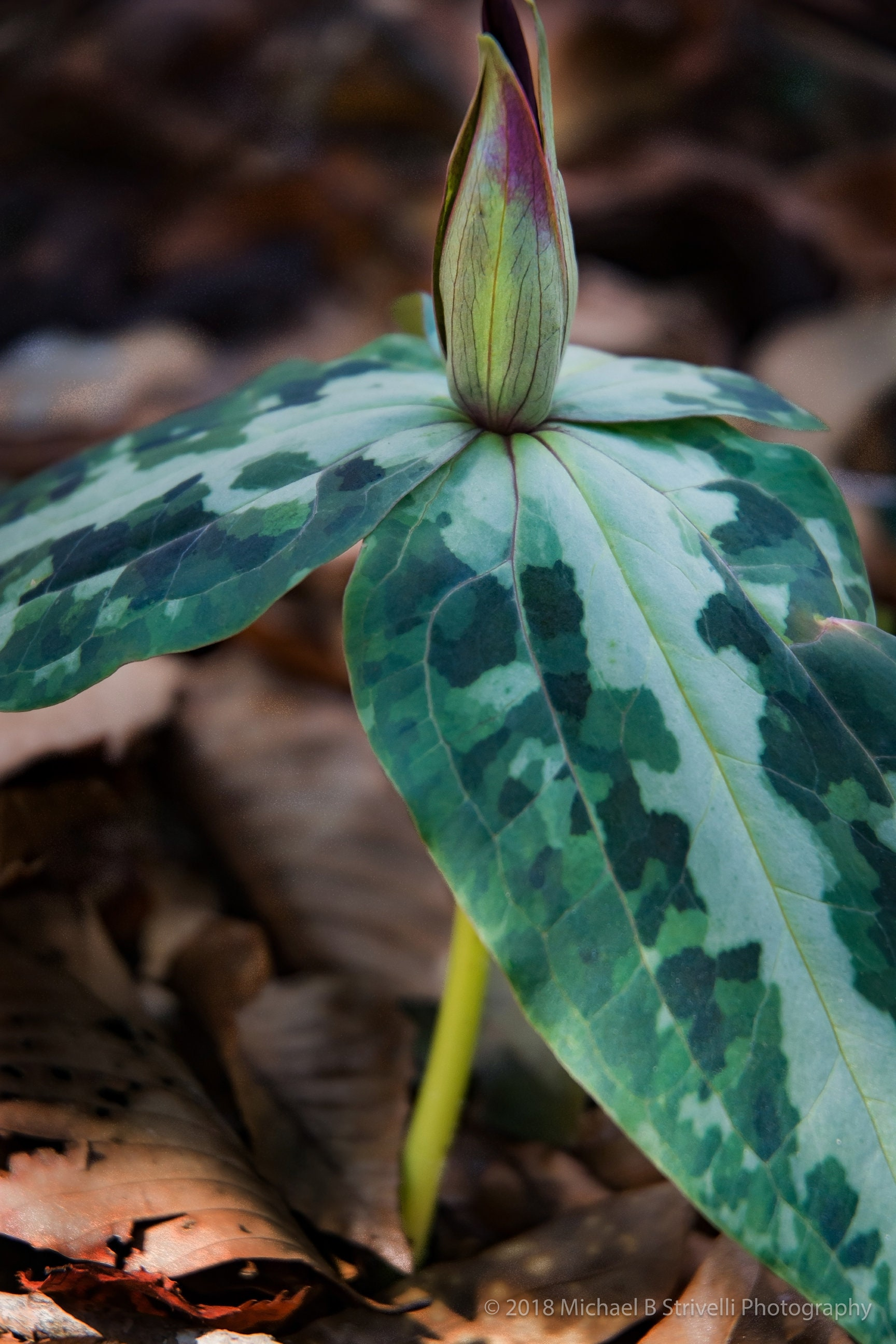 Trillium Flowers Hiking Woods Trails Striped Nature Etsy