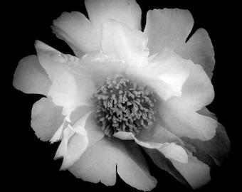 Black and White Peony. Fine Art Photo