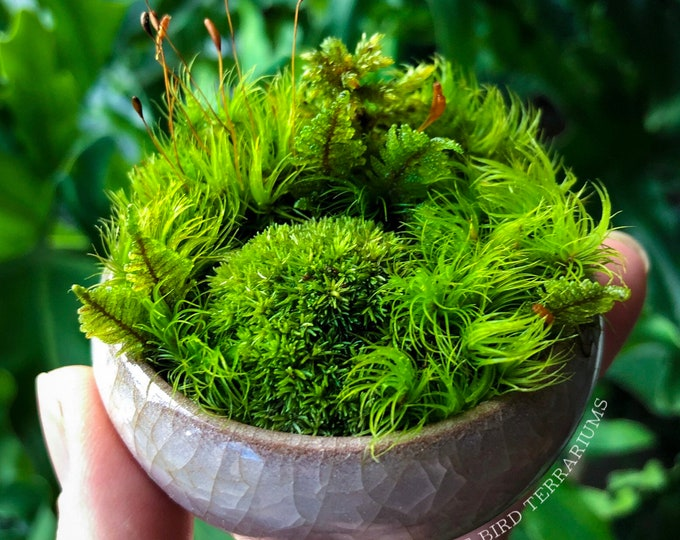 Miniature Moss Dish Garden Wabikusa with Display Case