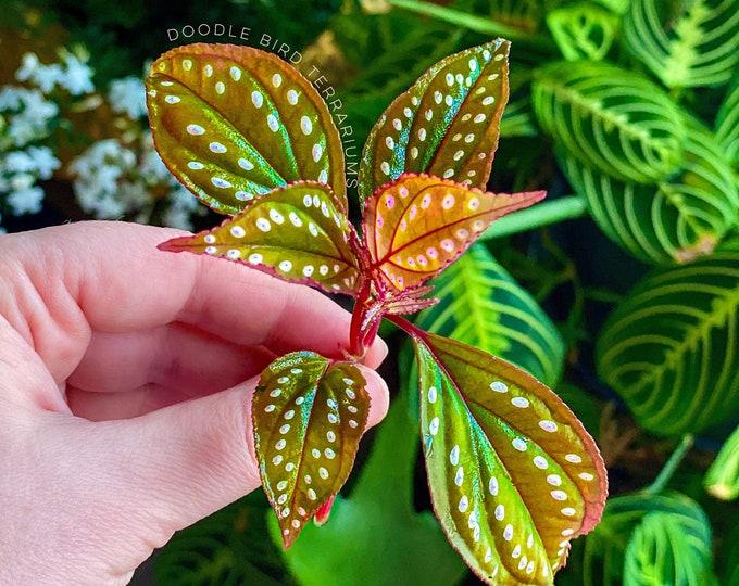 Sonerila Large Rooted Cutting Rare Terrarium Plant
