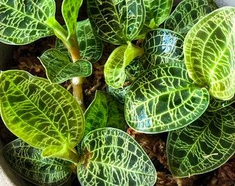 Large Macodes Petola Jewel Orchid Terrarium Plant