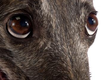 Fine Art Brindle Greyhound Photograph