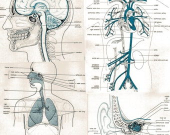 Vintage Anatomical Illustration of Muscles in the Human Body Anatomy ...