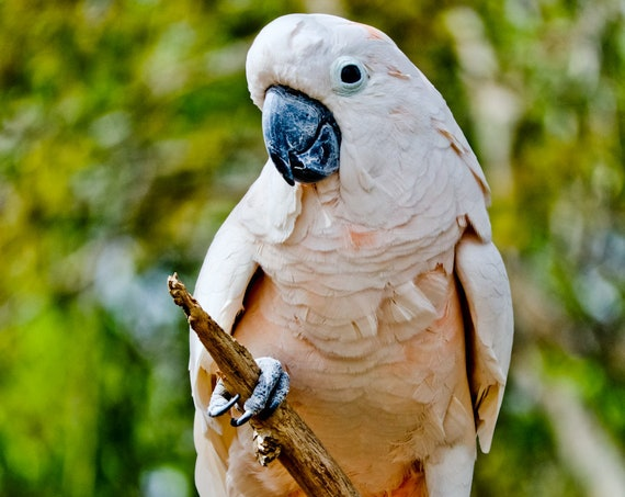 Salmon-crested cockatoo Fine Art Print or Canvas Gallery Wrap