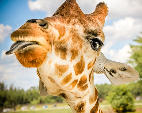 Giraffe sticking out tongue Fine Art Print or Canvas Gallery Wrap