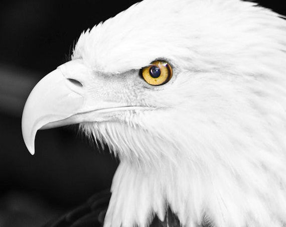 Bald Eagle Fine Art Print or Canvas Gallery Wrap