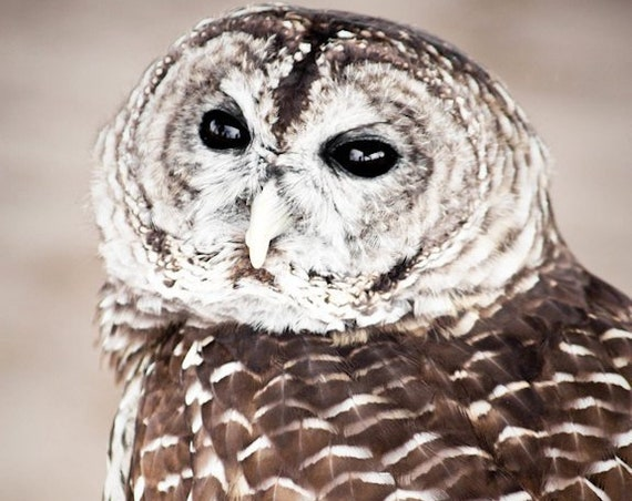 Barred Owl Fine Art Print or Canvas Gallery Wrap