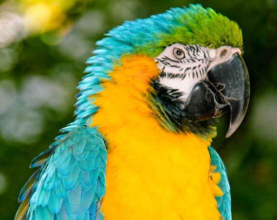 Blue & Gold Macaw Parrot Fine Art Print or Canvas Gallery Wrap