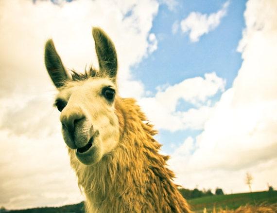 Llama Fine Art Print or Canvas Gallery Wrap