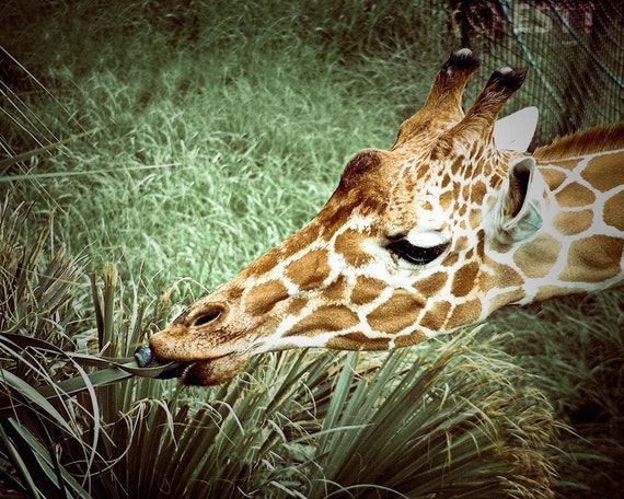 Giraffe Snacking on Grass Fine Art Print or Canvas Gallery Wrap