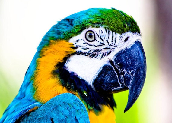 Macaw Parrot Blue & Yellow Fine Art Print or Canvas Gallery Wrap