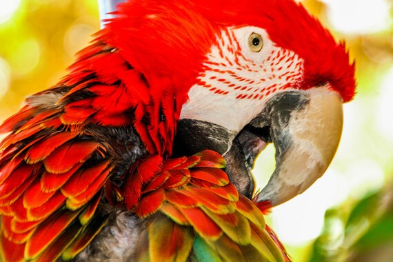 Red Macaw Parrot Colored Feathers Fine Art Print or Canvas Gallery Wrap