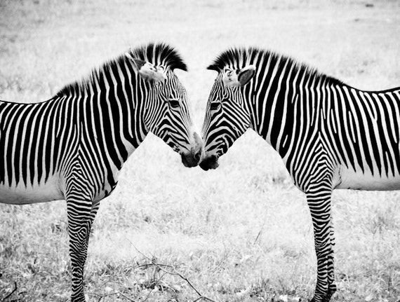 Two Zebras Black & White Fine Art Print or Canvas Gallery Wrap