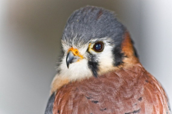 American Kestrel Falcon Fine Art Print or Canvas Gallery Wrap