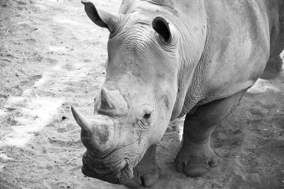 Southern White Rhinoceros Fine Art Print or Canvas Gallery Wrap