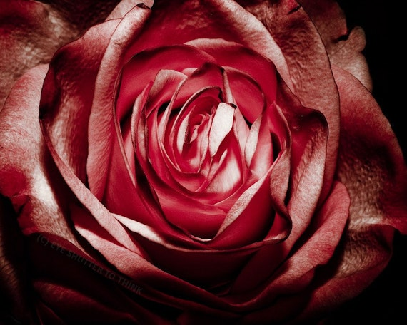 Gothic Red Rose Fine Art Print or Canvas Gallery Wrap