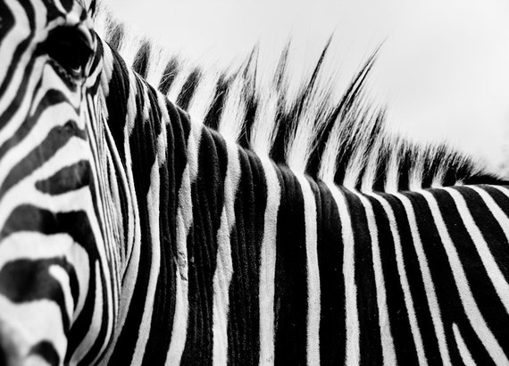 Zebra Back Stripes Black & White Fine Fine Art Print or Canvas Gallery Wrap