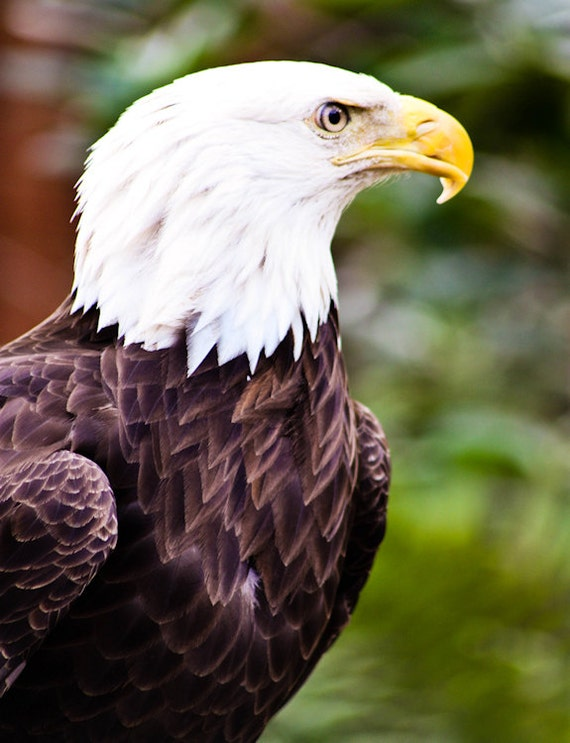 Bald Eagle in Color Fine Art Print or Canvas Gallery Wrap