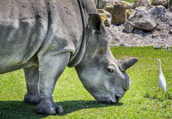 Rhinoceros and Bird Fine Art Print or Canvas Gallery Wrap