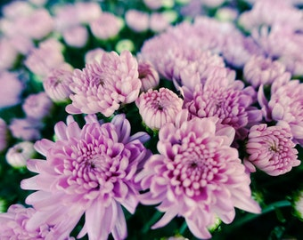 Chrysanthemums Fine Art Print - Nature, Botanical, Wildlife, Garden, Nursery Decor, Home Decor, Baby, Zen, Gift