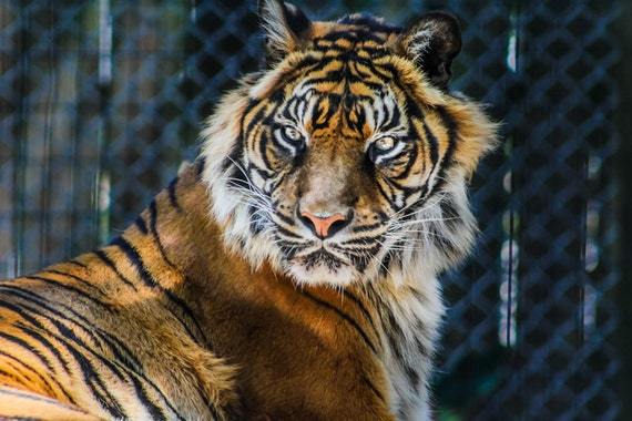 Bengal Tiger Fine Art Print or Canvas Gallery Wrap