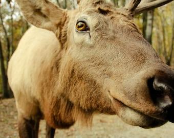 Curious Moose Fine Art Print - Nature, Botanical, Wildlife, Garden, Nursery Decor, Home Decor, Baby, Zen, Gift