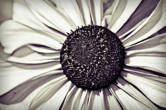 Black Eyed Susan Flower Black & White Fine Art Print or Canvas Gallery Wrap