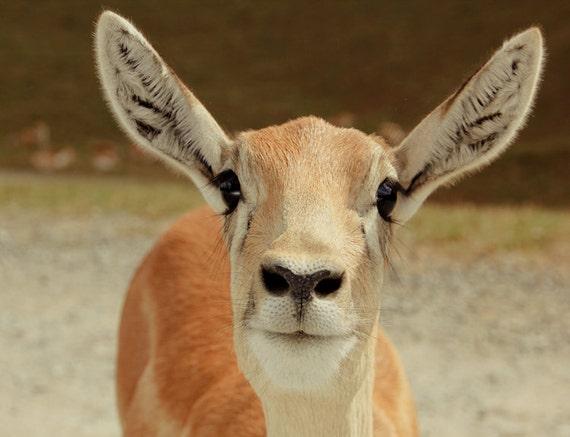 Baby Gazelle Fine Art Print or Canvas Gallery Wrap