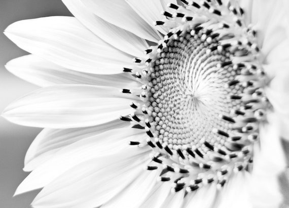 Sunflower Detail in Black & White Fine Art Print or Canvas Gallery Wrap