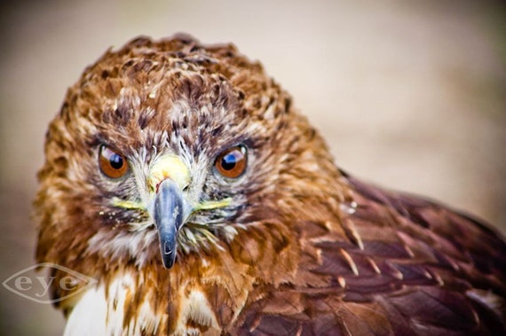 Red-shouldered Hawk Fine Art Print or Canvas Gallery Wrap