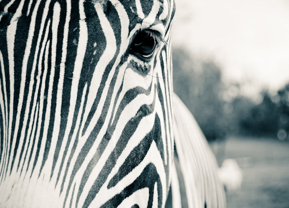 Zebra Face Close-Up Black & White Fine Art Print or Canvas Gallery Wrap