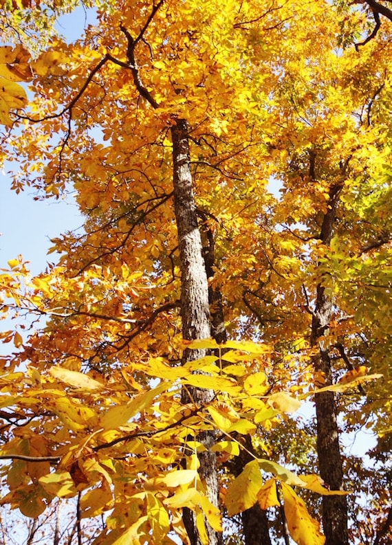 Golden Yellow Autumn Tree Fine Art Print or Canvas Gallery Wrap