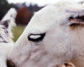Soft Llama Face Fine Art Print - Nature, Botanical, Wildlife, Garden, Nursery Decor, Home Decor, Baby, Zen, Gift