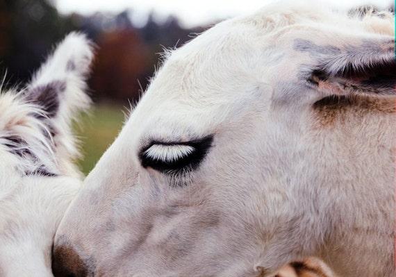 Soft Llama Face Fine Art Print or Canvas Gallery Wrap