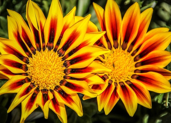 Orange & Red Gazania Flowers Fine Art Print - Nature, Botanical, Wildlife, Garden, Nursery Decor, Home Decor, Baby, Zen, Gift