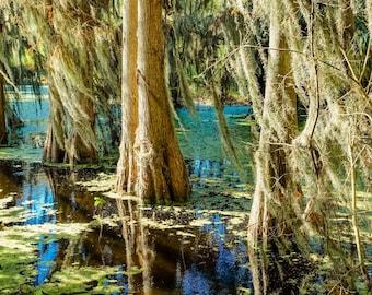 Florida Cypress Trees Fine Art Print or Canvas Gallery Wrap