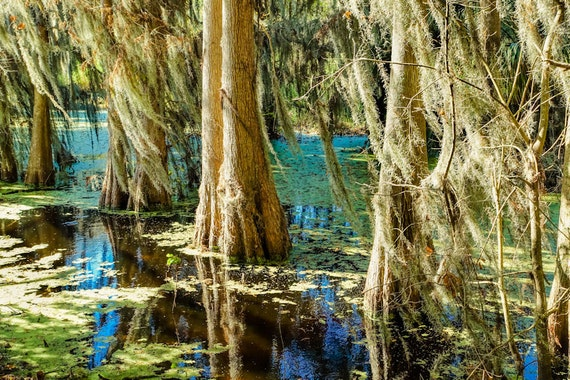 Florida Cypress Trees Fine Art Print or Canvas Gallery Wrap