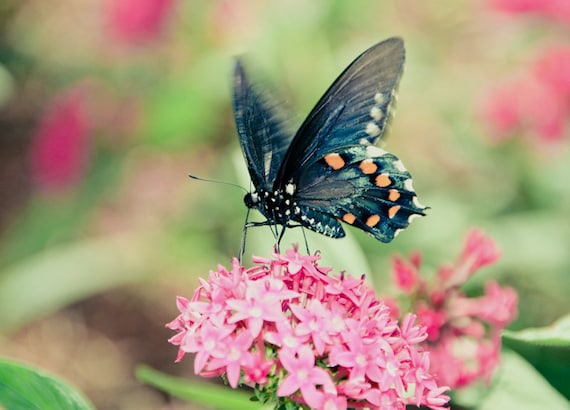 Blue Pipevine Swallowtail Butterfly Fine Art Print