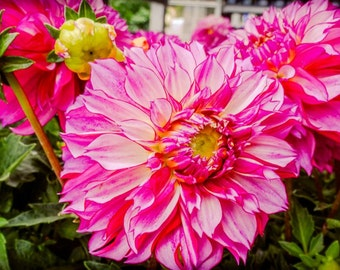 Pink and Yellow Dahlia Flower Fine Art Print or Canvas Gallery Wrap