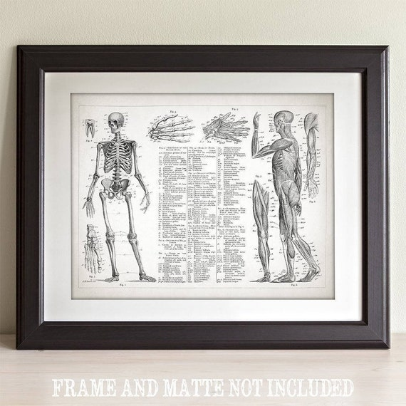 Human Anatomy Muscular And Skeletal Systems 11x14 Unframed Etsy