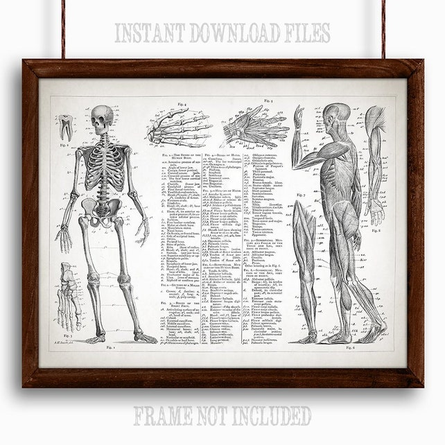 Human Anatomy Muscular And Skeletal Systems Printable Art Etsy
