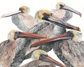 Brown Pelicans - Archival Print