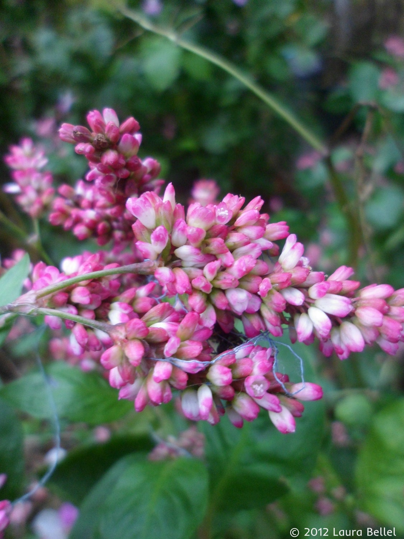 Indigo Seeds Japanese Indigo Dye Persicaria Tinctoria | Etsy