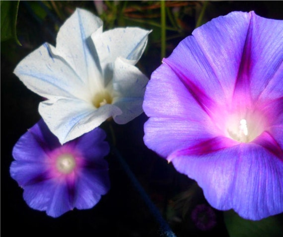 Morning glory seeds mix variety of purple pink white blue etsy image 0 mightylinksfo